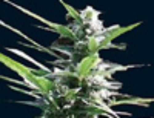 Hercules Marijuana Seeds — Strain Reviews — 7 Dwarfs Seeds
