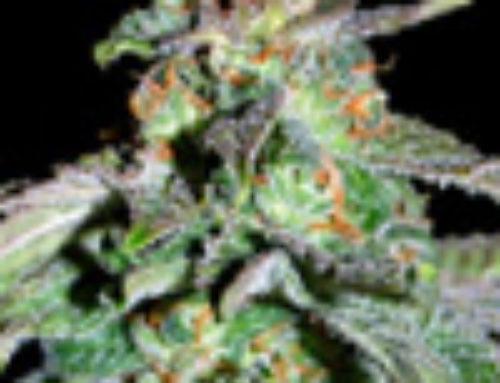iHaze Marijuana Seeds – Strain Reviews – The ISeeds