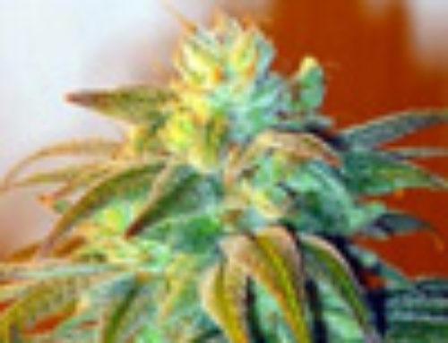 Kabbalah Marijuana Seeds — Strain Reviews — Doggies Nuts