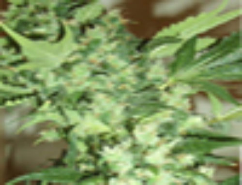 Master Kush x Northern Light Marijuana Seeds — Strain Reviews — Amsterdam Marijuana Seeds