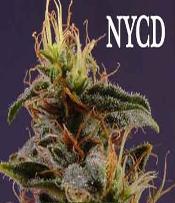 New York Diesel Marijuana Seeds