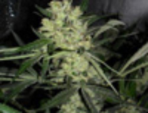 Northern Light x Lemon Thai Marijuana Seeds — Strain Reviews — Lala Seeds