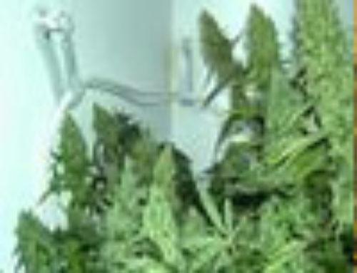 Orange Kush Marijuana Seeds — Strain Reviews — Green Devil