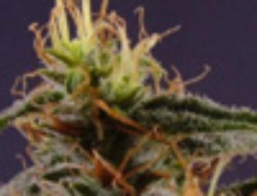 Orange Strawberry Banana Marijuana Seeds — Strain Reviews — Cropi Canna Seeds