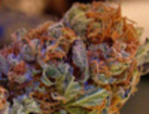 Orange Marijuana Seeds — Strain Reviews — Cultivators Choice