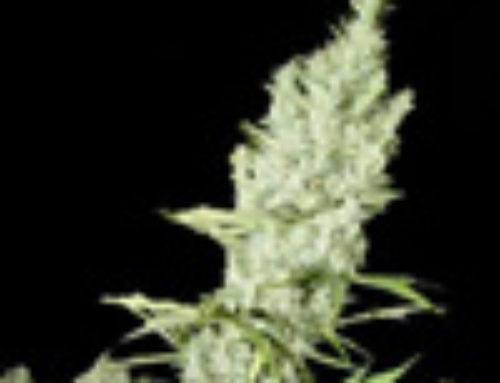 Pablos Cheese Marijuana Seeds — Strain Reviews — Cannaseur Seeds