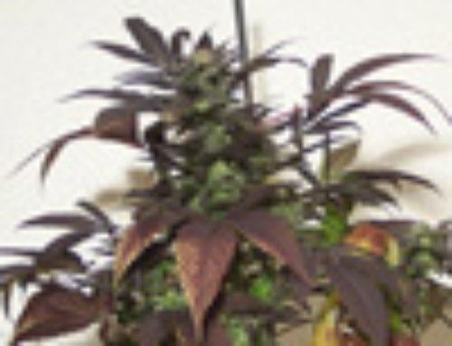 P.O.W. Marijuana Seeds — Strain Reviews — Hazeman Seeds