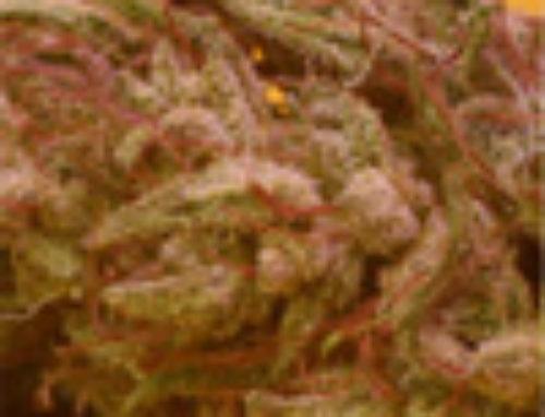 Primera Dama Marijuana Seeds — Strain Reviews — Delicatessen Seeds