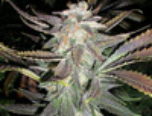Romulan Maxx Marijuana Seeds — Strain Reviews — Next Generation Seeds