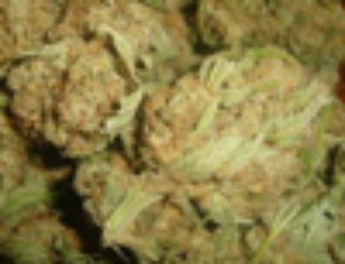 Skywalker OG Marijuana Seeds — Strain Reviews — Apothecary