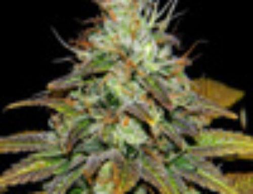 Sour Double Kush Marijuana Seeds — Strain Reviews — Cannaventure