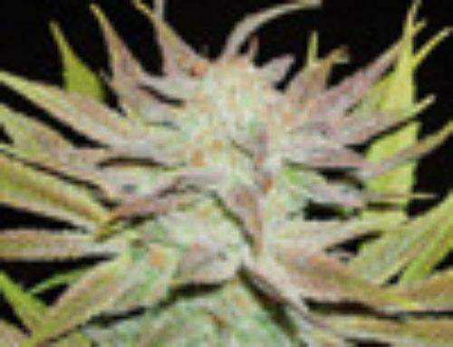 Space Cheese Marijuana Seeds — Strain Reviews — Cannaseur Seeds