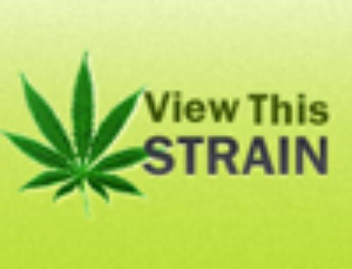 White Shark 33 Marijuana Seeds — Strain Reviews — CH9 Female Seeds