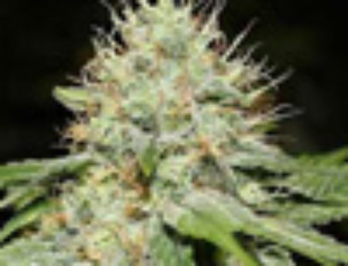 Sweet 'n Sour Marijuana Seeds – Strain Reviews – Spliff Seeds