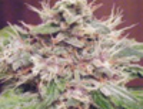 Sweet Clements Marijuana Seeds — Strain Reviews — Green Devil