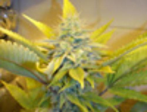 Taste Bud Marijuana Seeds — Strain Reviews — Seedism Seeds