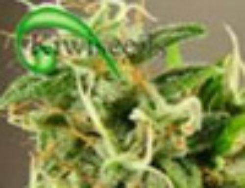 Tasman Haze Marijuana Seeds — Strain Reviews — Kiwi Seeds
