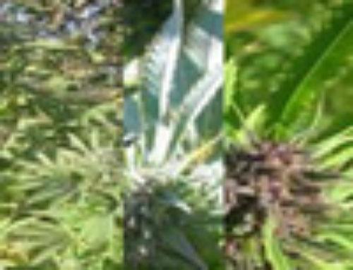 TexadaTimewarp F5 Marijuana Seeds — Strain Reviews — Next Generation Seeds