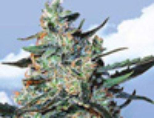 TFD Marijuana Seeds — Strain Reviews — Flying Dutchmen