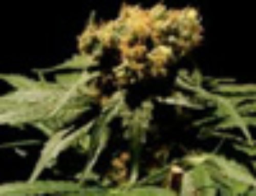 The Bulldog Chronic Marijuana Seeds — Strain Reviews — Bulldog Seeds