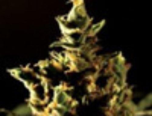 The Bulldog Haze Marijuana Seeds — Strain Reviews — Bulldog Seeds