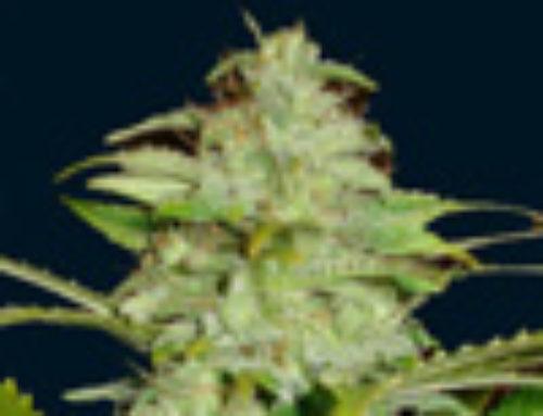 Titan Marijuana Seeds — Strain Reviews — 7 Dwarfs Seeds