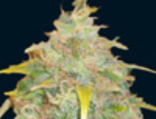 Trojan Marijuana Seeds — Strain Reviews — 7 Dwarfs Seeds