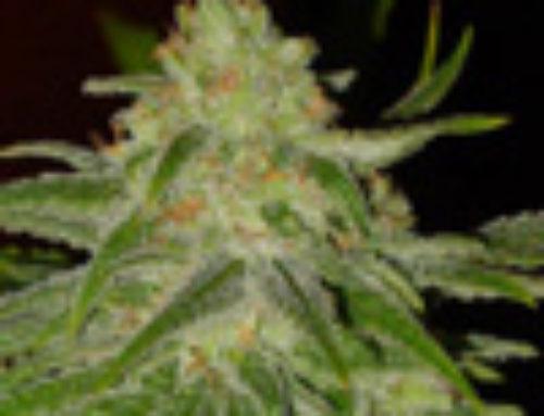 Tropical Fruit Marijuana Seeds — Strain Reviews — Cropi Canna Seeds