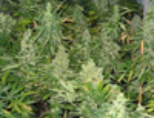 Twista 108 Marijuana Seeds — Strain Reviews — Seedism Seeds
