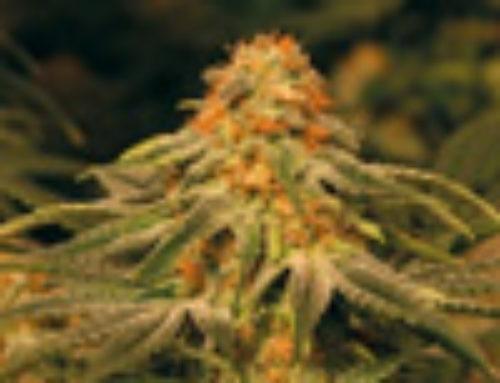 Vanilla Haze Marijuana Seeds — Strain Reviews — CBD Seeds