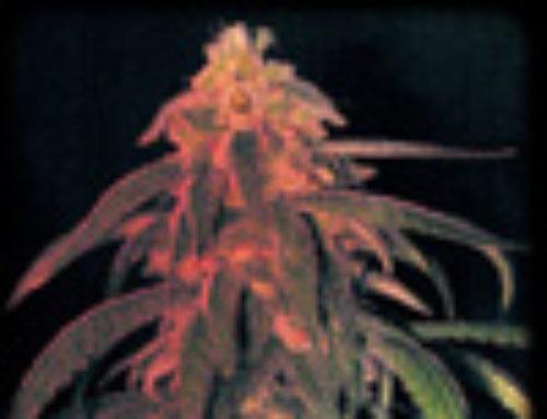 Vega Marijuana Seeds — Strain Reviews — Lala Seeds