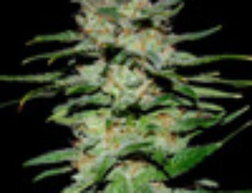 Wailer Marijuana Seeds – Strain Reviews – The ISeeds