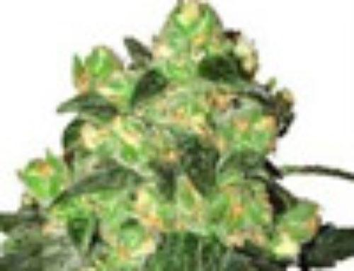 White Label Rhino Marijuana Seeds – Strain Reviews – White Label Seeds Company