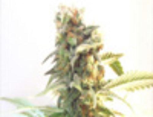 White Skunk Marijuana Seeds — Strain Reviews — Seedism Seeds