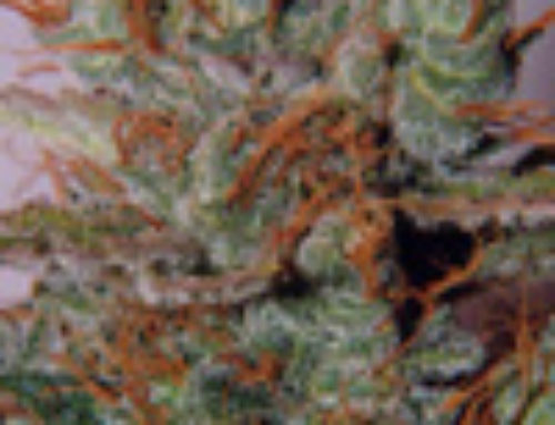 White Widow Marijuana Seeds – Strain Reviews – Spliff Seeds