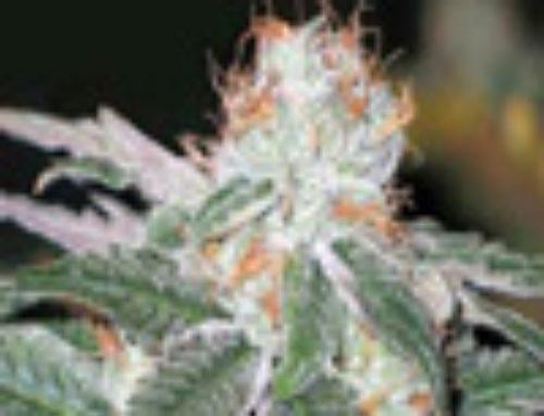 Widow Marijuana Seeds — Strain Reviews — CBD Seeds