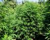 BlueChem Marijuana Seeds