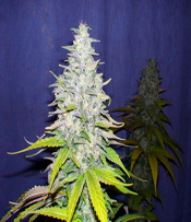 LUI 13 Marijuana Seeds
