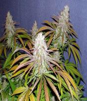 OGer99 Marijuana Seeds