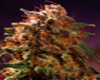 Golden Moon Marijuana Seeds
