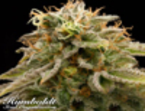 Lemon Thai Kush Marijuana Seeds – Strain Reviews Humboldt Seed Organisation