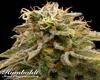 Lemon Thai Kush Marijuana Seeds