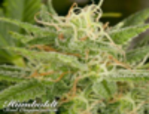 OG kush Marijuana Seeds – Strain Reviews Humboldt Seed Organisation