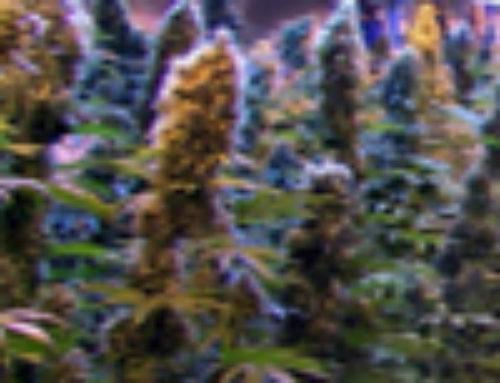 Malawi Gold Marijuana Seeds – Strain Reviews – Malberry Seeds