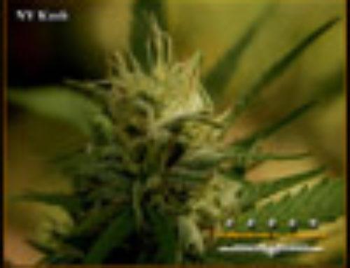 NY Kush Marijuana Seeds – Strain Reviews -Marshall Seeds