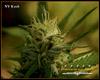 NY Kush Marijuana Seeds