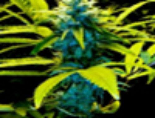 Mozambiquen Poison Marijuana Seeds – Strain Reviews – Malberry Seeds