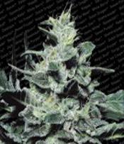 Nebula Marijuana Seeds