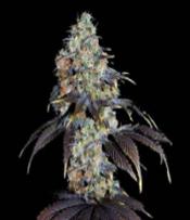Nepali Rukum Marijuana Seeds