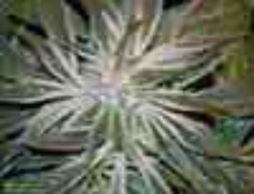 Deep Chunk Marijuana Seeds – Strain Reviews – Old Dreams Genetics
